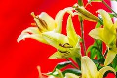 Gele leliebloemen Stock Foto's