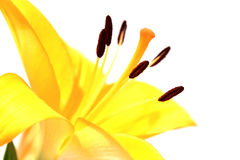 Gele leliemacro Royalty-vrije Stock Afbeeldingen