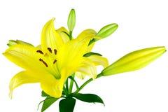 Gele Lelies Stock Foto's