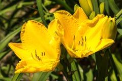 Gele Lelies Royalty-vrije Stock Afbeeldingen
