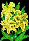 Gele Lelies Stock Afbeeldingen