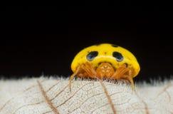 Gele Lieveheersbeestje Mimische Spin - Paraplectana SP Stock Fotografie