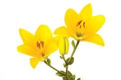 Gele liles Stock Afbeeldingen