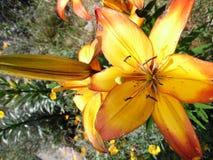 Gele lillys Stock Foto's