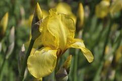 Gele lissen die in een tuin, macro bloeien Stock Afbeeldingen