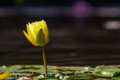Gele Lotus Blossum Begins om exemplaar-ruimte te openen royalty-vrije stock afbeeldingen