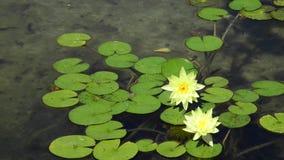 Gele lotusbloem stock footage