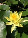 Gele lotusbloem Stock Afbeeldingen