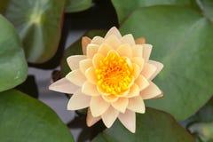 Gele lotusbloem Royalty-vrije Stock Fotografie