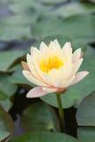Gele lotusbloem Stock Afbeelding