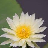 Gele lotusbloembloem Stock Foto's