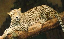 Gele luipaardzitting op een tak royalty-vrije stock foto's