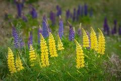 Gele lupinebloem royalty-vrije stock foto