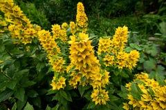 Gele Lysimachia-bloemen Stock Foto