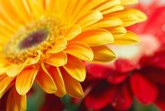 Gele madeliefje-gerbera Royalty-vrije Stock Fotografie