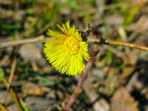 Gele madeliefjebloem in de lentebos royalty-vrije stock afbeeldingen