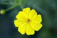 Gele madeliefjebloem op donkergroene achtergrond De macrofoto van de de zomerbloei Royalty-vrije Stock Foto