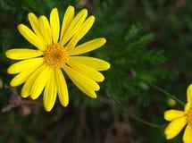 Gele madeliefjebloemen royalty-vrije stock foto