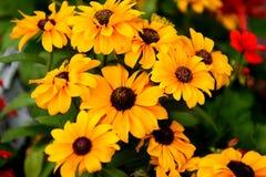Gele madeliefjebloemen Stock Afbeelding