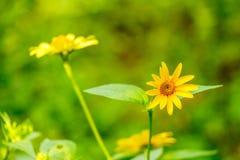 Gele madeliefjebloemen in een tuin op een groene achtergrond Stock Foto