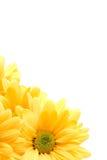 Gele madeliefjehoek royalty-vrije stock afbeeldingen