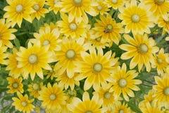 Gele Madeliefjes Royalty-vrije Stock Afbeeldingen