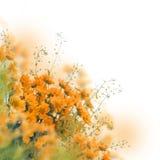 Gele madeliefjes Stock Foto