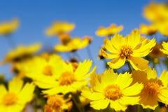 Gele madeliefjes en blauwe hemel Stock Foto