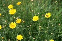 Gele madeliefjes en een insect royalty-vrije stock foto