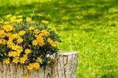 Gele Madeliefjes in het Plaatsen van de Werf Royalty-vrije Stock Fotografie