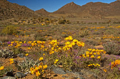Gele madeliefjes in Namaqualand Stock Foto