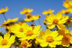 Gele madeliefjeweide tegen een blauwe hemel Stock Foto