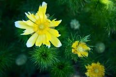 Gele magische bloemen Stock Afbeelding