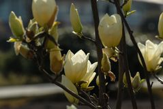 gele Magnolia Grandiflora Linn stock fotografie
