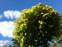 Gele marple, met blauwe hemel Royalty-vrije Stock Fotografie