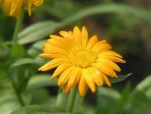Gele medische bloem Royalty-vrije Stock Afbeeldingen
