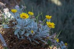 Gele mediterrane bloem Royalty-vrije Stock Foto's