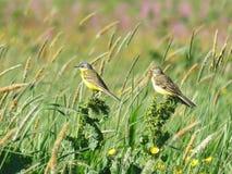 Gele meesvogels in weide Royalty-vrije Stock Fotografie