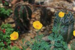 Gele Mexicaanse Tulip Poppies Royalty-vrije Stock Foto