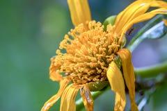 Gele Mexicaanse zonnebloem macrofotografie stock afbeelding
