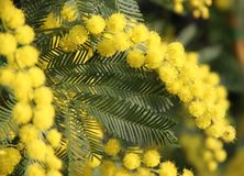 Gele Mimosa om vrouwen in de dag van de internationale vrouwen te geven Royalty-vrije Stock Foto's