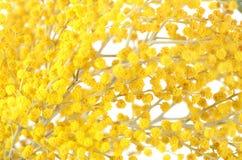 Gele mimosa   op witte achtergrond Stock Fotografie