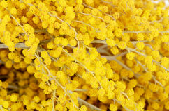 Gele mimosa   op witte achtergrond Stock Afbeeldingen