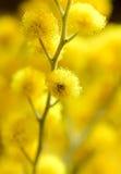 Gele mimosa's stock foto's