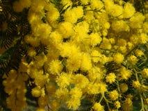 Gele Mimosa's Royalty-vrije Stock Foto