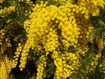 Gele Mimosa's Stock Fotografie