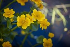 Gele moerasbloemen, macromening royalty-vrije stock afbeeldingen