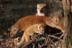 Gele mongoes (Cynictis-penicillata) met een baby Stock Fotografie