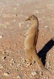Gele mongoes, de woestijn van Kalahari, Zuid-Afrika Stock Afbeelding