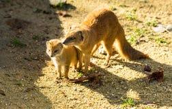 Gele mongoesbaby ter plaatse Stock Afbeeldingen